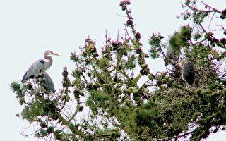 苍鹭筑巢孵幼子 旧金山金门公园再现观鸟潮
