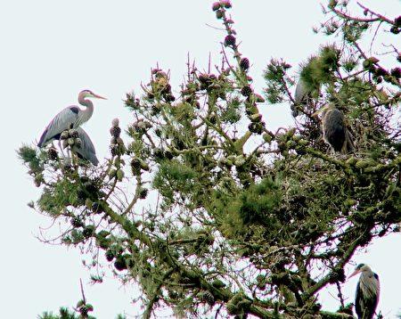 蓝苍鹭飞来金门公园筑巢。(林骁然/大纪元)