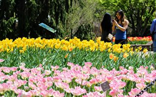 Brookside公园内栽有五万株郁金香。(石青云/大纪元)