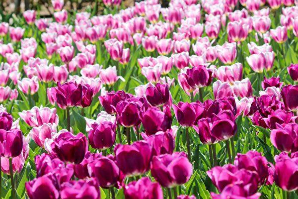 Brookside公园内栽有各种颜色的郁金香。(石青云/大纪元)