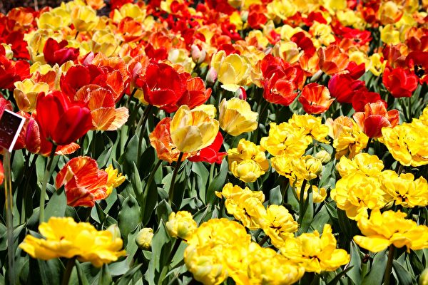 在整个四月份,郁金香会轮番开放。(石青云/大纪元)