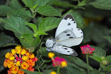 缘点白粉蝶。〈陈建仁提供图片〉