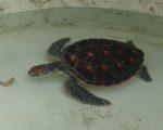 綠蠵龜被捕獲時,處飢餓狀態,照顧人員立即餵食蝦子。(簡源良/大紀元)
