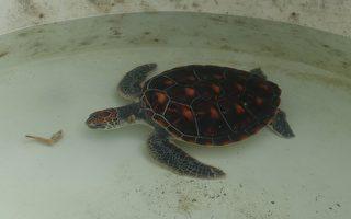 绿蠵龟被捕获时,处饥饿状态,照顾人员立即喂食虾子。(简源良/大纪元)
