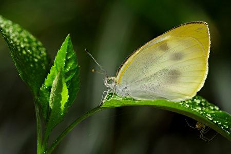 白粉蝶。〈林家弘提供图片〉