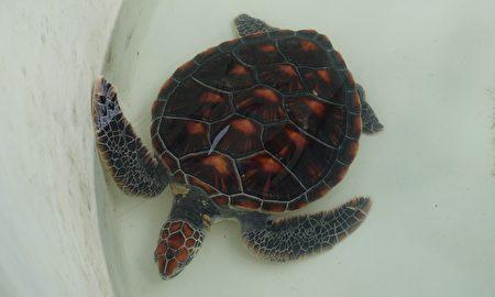 綠蠵龜脖子背側及後肢都有黃色結痂樣傷口,疑似寄生蟲感染。(簡源良/大紀元)