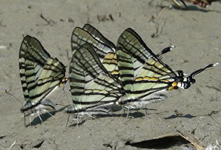 升天凤蝶是最有特色的一年一世代早春型稀有蝶种。〈特生中心提供〉