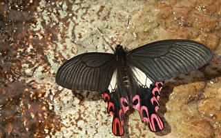 """有""""国宝蝶"""" 之称的台湾宽尾凤蝶。〈吕晟智提供图片〉"""