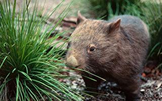 丛林里常见的野生动物是游客们,特别是孩子们亲近大自然的绝佳场所。(Wombat Discovery Tours提供)