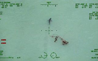 橙县达纳点海滩拍到15只大白鲨