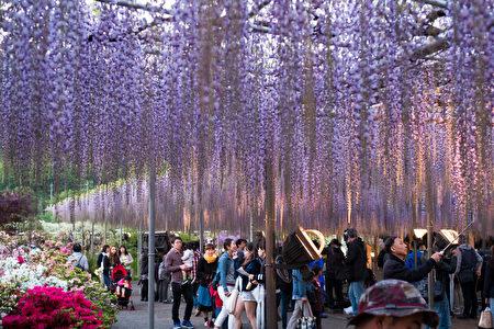 """日本栃木足利花卉公园曾被美国CNN选为""""全球十大梦幻旅游景点""""之一。4月中旬到5月中旬,在9万多平方公尺的园区内,满园处处是藤花垂挂美景。(野上浩史/大纪元)"""