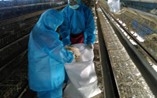 彰化县政府农业处2日会同动防所人员,扑杀鸿彰畜牧场内的1万多只蛋鸡,动防人员先将鸡只迷昏,再装袋运往焚化炉焚化。(彰化县政府提供)