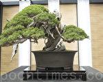 2017年4月在日本埼玉市舉行的第8屆世界盆栽展覽會上出展的日本盆栽界傳奇至寶「飛龍」,樹齡超過一千年。(盧勇/大紀元)