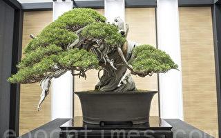 組圖:世界盆栽大會 千年樹齡至寶盆景現真容