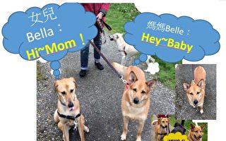 分別獲救並各自送往海外的狗媽媽Belle(右)與女兒Bella(左),母親節母女散步意外重逢。(台灣動物緊急救援小組提供)