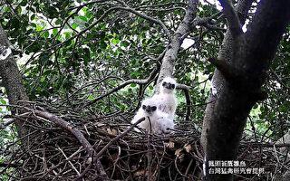 """每到大安森林公园凤头苍鹰育雏时,总会许多民众前来赏鸟,看见毛茸茸的幼鸟(图)在巢中模样,简直令人感到""""融化""""。(台北市工务局提供)"""