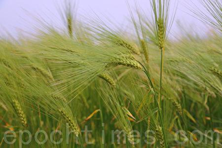 五月中旬的韩国首尔汉江公园(二村洞地区)一望无际的青麦田。(全景林/大纪元)