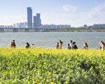 五月中旬的韩国首尔汉江瑞来岛(瑞草区盘浦地区)金黄的油菜花于汉江形成风景如画的美景。(全景林/大纪元)