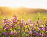 夏天草甸与五颜六色的鲜花 晴朗的自然,日落。(fotolia)