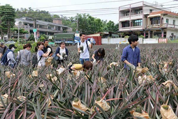 客製化「旺來之旅」,日本遊客採鳳梨。(高市農業局提供)