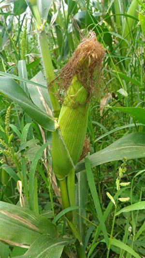 5月7日采玉米趣。(宜兰县政府提供)