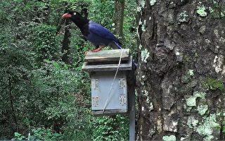 奧萬大架設鳥巢箱 記錄山鳥育雛秀