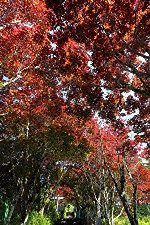 太平山的中央阶梯紫叶槭。(罗东林管处提供)