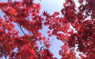紫叶槭。(罗东林管处提供)