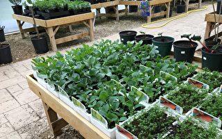 夏季已經過去了,現在是把注意力轉到那些可以抵禦寒冷、多風極端天氣的冬季植物身上時候了。適合在這個季節裡栽種的品種有菠菜、大頭菜、蘿蔔、芥末等。(Pixabay.com)