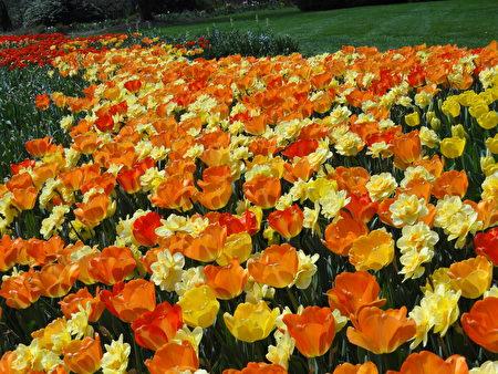 今年的花园步道 (Flower Garden Walk) 栽种了10万株来自全世界的郁金香花 (司瑞/大纪元)