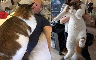 缅因猫参孙的来头可是不小:重28磅(近26斤),长近4英尺(122厘米),实际上已破吉尼斯世界纪录。(Instagram/大纪元合成)