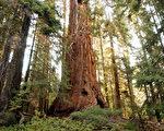 美国加州红杉自然保护区内的一棵红杉树。(David McNew/Getty Images)