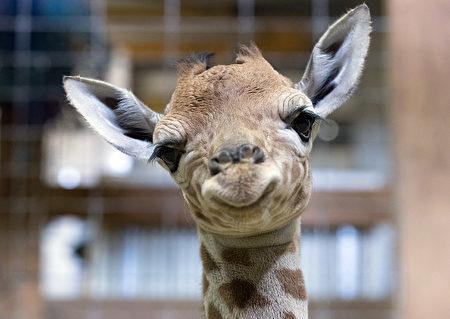 刚出生一天时的小长颈鹿Gus(Matt Cardy/Getty Images)