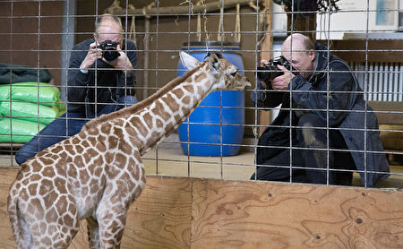 BRISTOL, ENGLAND - MAY 12: One-day-old baby giraffe calf Gus looks at photographers at Noah's Ark farm on May 12, 2017 in Bristol, England. The baby giraffe was born yesterday at the zoo farm in North Somerset. In the wild, populations of giraffes are suffering from a continuing decline, with 97,500 estimated in Africa in 2015. Since 1985 the total giraffe population has fallen by 35%. New arrival Gus joins brothers George, 4 and Geoffrey, 2. (Photo by Matt Cardy/Getty Images)