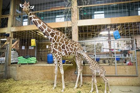 刚出生一天时的小长颈鹿Gus。( Matt Cardy/Getty Images)