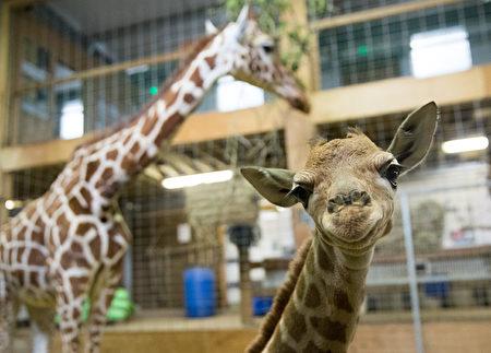 刚出生一天时的小长颈鹿Gus。(Matt Cardy/Getty Images)