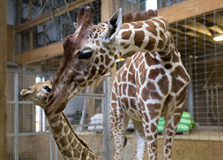 刚出生一天时的小长颈鹿Gus和它的妈妈。(Matt Cardy/Getty Images)