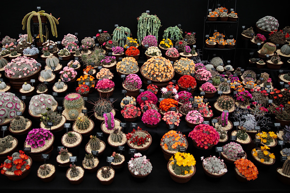 LONDON, ENGLAND - MAY 22: Varieties of cacti on display at the Chelsea Flower Show on May 22, 2017 in London, England. The prestigious Chelsea Flower Show, held annually since 1913 in the Royal Hospital Chelsea grounds, is open to the public from the 23rd to the 27th of May, 2017. (Photo by Jack Taylor/Getty Images)