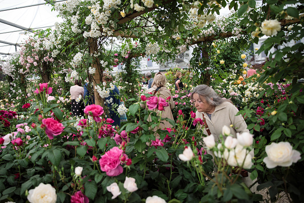 LONDON, ENGLAND - MAY 22: A visitor smells a flower in a rose garden at the Chelsea Flower Show on May 22, 2017 in London, England. The prestigious Chelsea Flower Show, held annually since 1913 in the Royal Hospital Chelsea grounds, is open to the public from the 23rd to the 27th of May, 2017. (Photo by Jack Taylor/Getty Images)
