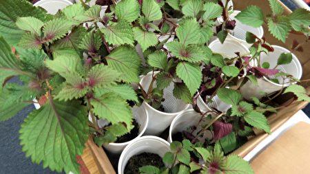 艾草及紫蘇是夏季養生佳品。(袁玫/大紀元)