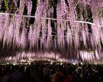 足利花卉公園曾被美國CNN選為「全球十大夢幻旅遊景點」之一。園中紫藤花開季節,會在晚間點上燈光,便是被認定為日本夜景遺產的「夜之藤」,一種夢幻的景色。(野上浩史/大紀元)
