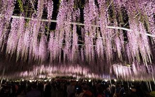 全球十大梦幻景点之一 日足利花卉公园紫藤树
