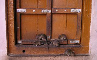 为了躲避寒冷和风雨,老鼠进入住家。(Pixabay)