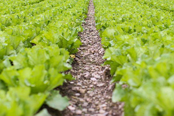 自己种菜,不仅一年四季都有蔬菜吃,有时蔬菜吃不完,还可送给同事、朋友和亲戚,与他们结善缘。(Pixabay)