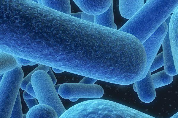 當代研究者已發現,微生物群對每個器官、每種疾病都有著深遠影響。把微生物群調理好,保持腸道健康,對整體健康十分關鍵,也是永久性減肥的可靠方法。(Sebastian Kaulitzki/Shutterstock)