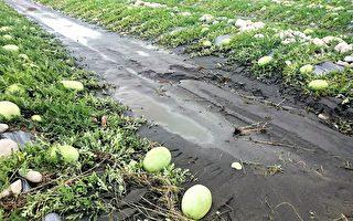 經統計截至4日,中市農作物受害面積為70公頃,包括水稻倒伏52公頃、柿子落果8公頃和西瓜浸水10公頃,損失金額為122萬6,000元。(台中市政府提供)