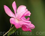 蔷薇 (摄影:王嘉益 / 大纪元)