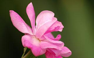 散落人间的文字:庭前开满红蔷薇