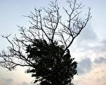 人生似乎像棵巨大的我们望不到边的决策树,带着无限的可能。  (王嘉益  / 大纪元)