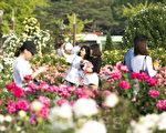 韩国首尔奥林匹克公园玫瑰花绽放,美不胜收的花朵吸引游客前来观赏。(全景林/大纪元)